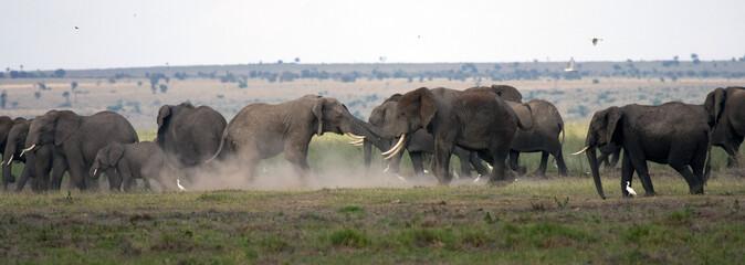 Famiglia di elefanti, maschi in lotta