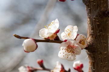 Prunus Domestica inflorescence close-up