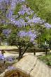 Jacaranda mimosifolia - Sud America