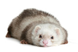 Funny ferret on a white background poster
