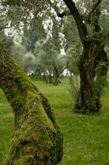 olivenhain im herbst