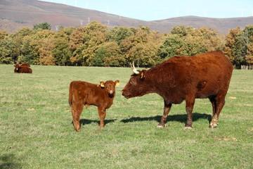 ternero con vaca de raza salers