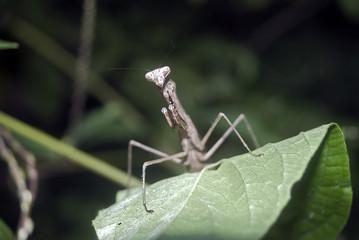 Praying mantis, Tokyo, Japan