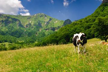 Vallée de chaudefour - Vaches en liberté