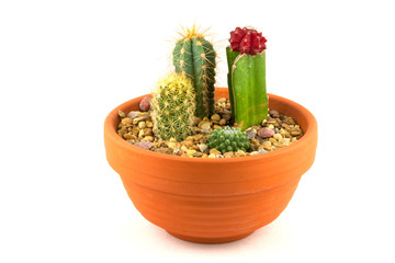 Cactus pot plants