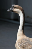 close up goose head