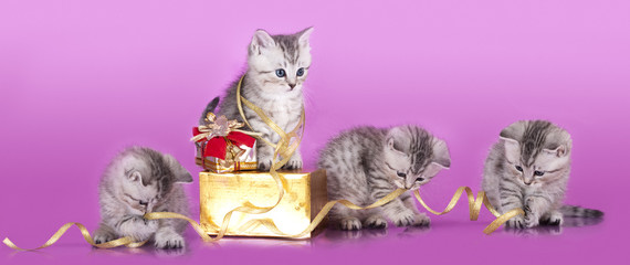 British kittens packed gift and tie a ribbon