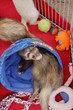 Ferret Fan Fair