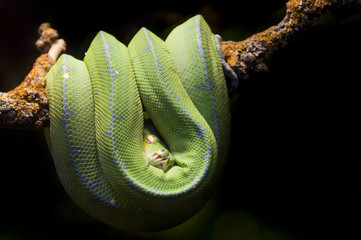 Tropical Green snake resting on a branch