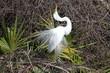 Great Egret Breeding Display