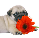 Pug puppy with red gerbers.