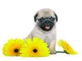 Mops štěně se žlutým chryzantém.