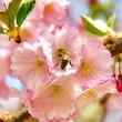 Biene auf einer Mandelblüte