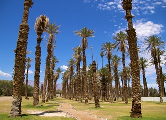Palm trees, Furnace Creek, Death Valley National Park