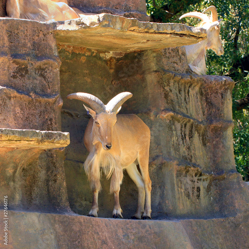 Barbary Sheep on Artificial Cliff Face - Ammotragus lervia - Ade