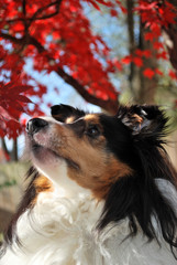 Shetland Sheepdog Looking Up in Fall