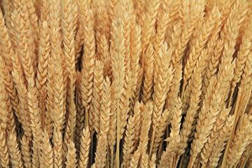 rye, grain, corn