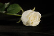 White rose on a black velvet