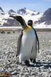 King Penguins on the shore of Salisbury Plain, South Georgia