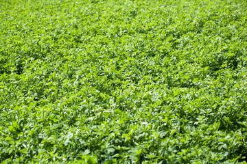 A white clover field detail, Trifolium repens