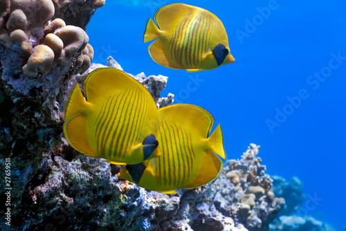 Ławica ryb motyla na rafie