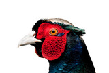 Ring Necked Pheasant Male Vibrant Head Profile Isolated on White