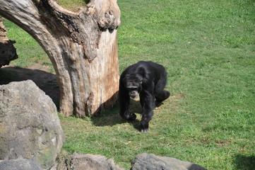 Chimpancé en el Biopark de Valencia. España.
