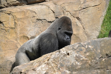 Gorila de costa en el Biopark de Valencia. España.