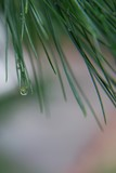 Drop on the pine needle