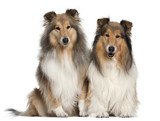 shetland sheepdogs, 6 and 7 years old, sitting poster