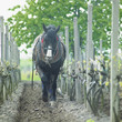 horse in vineyard, Sidleny, Czech Republic