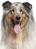 Close-up of Shetland Sheepdog with tongue out, 1 year old poster