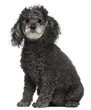 Poodle, 12 years old, sitting in front of white background