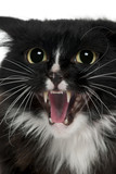 Close-up of Aegan Cat meowing, 3 years old poster