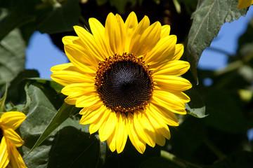 reife Sonnenblumen - Blüte