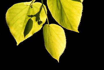 Linden tree leaves isolated, lime