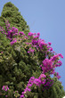 Mediterranean Cypress and Bougainvillea