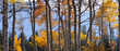 Panoramic view of Aspen trees in Rocky mountains
