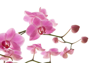 abundant flowering of pink stripy phalaenopsis orchid i