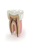 Zahn-Wurzel Querschnitt - 27706514