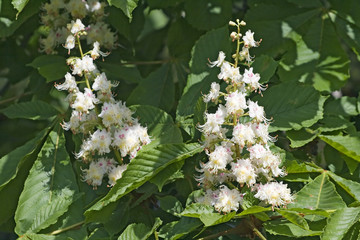 Flowering chestnut