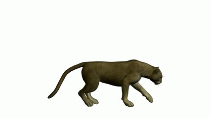 Grey Puma Walking
