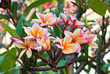 Close-up of beautiful pink plumeria on tree