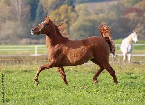 Arabian Horse at meadows