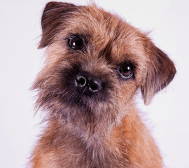 Border Terry Puppy
