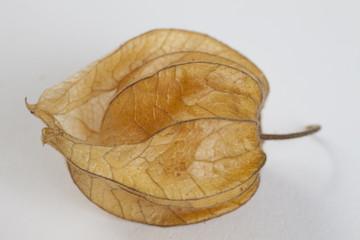 Kapstachelbeere, Physalis Peruviana, Solanaceae