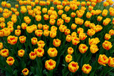 Fototapety tulip