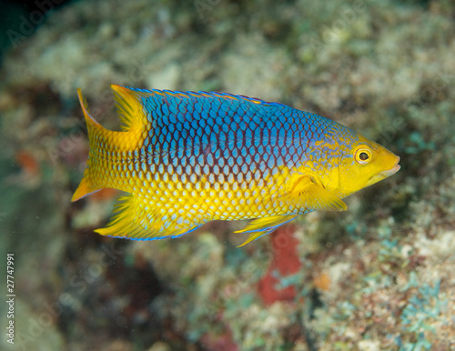 Spanish Hogfish-Bodianus rufus