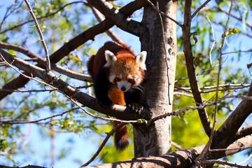 Red Panda climbing down tree.  Ailurus fulgens