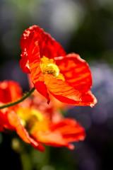 Beautiful poppy flowers blooming during spring season